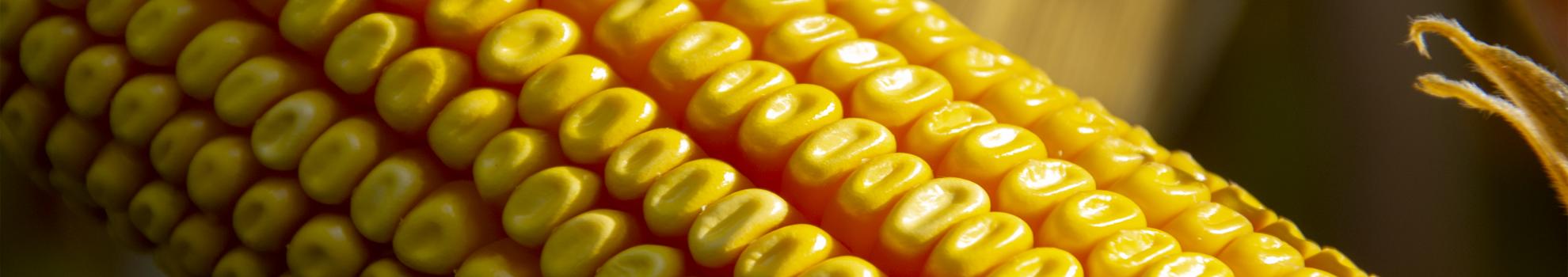 Einladung zu den RAGT-Maisfeldtagen