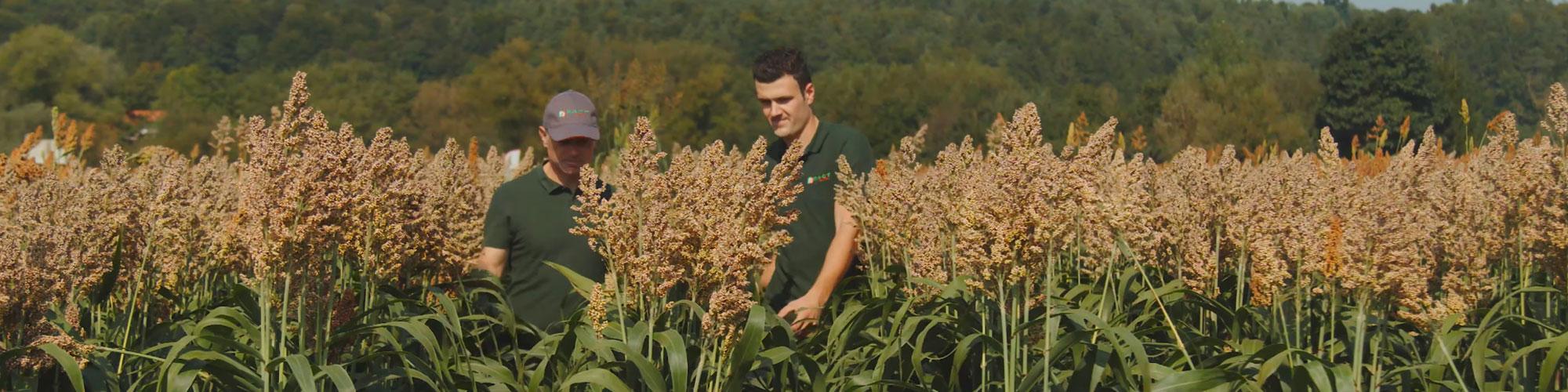 Körnersorghum - mehr als nur eine Alternative zu Mais