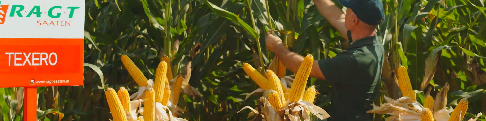 RGT TEXERO (380) ist offiziell DIE gesündeste Maissorte im späten Bereich